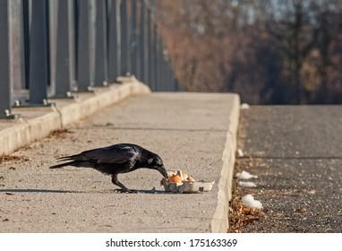 "Close to a flesh crow ""Corvus corone"" feeding some fresh eggs"