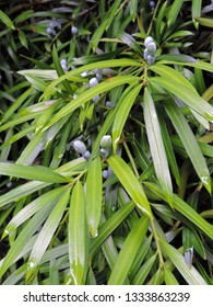 Close up of the fleshy fruit stems of plum pine, brown pine (Podocarpus elatus). Canberra, ACT, Australia