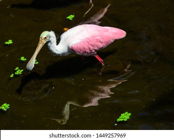 Close up of the Florida sunshine on the feathers of a roseate spoonbill wading in a wetland with duckweed floating around him.