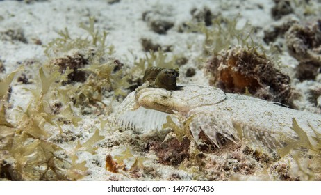 Close up of Flounder in coral reef of the Caribbean Sea around Curacao