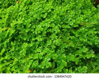 Close up of Flourishing Fern Moss under an Overcast Ambient
