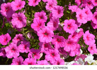 Close up of a flower border with colouful flowering Petunia Wave Sweetheart