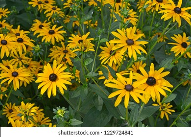 Close up of a flower border with colouful flowering Rudbeckia hirta Black Eyed Susan