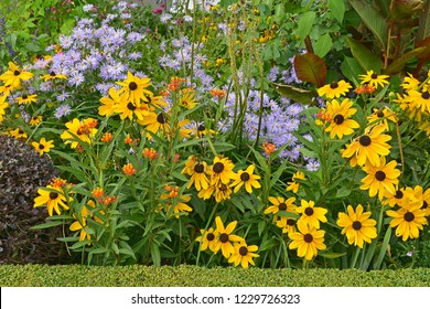 Close up of a flower border with colouful flowering Rudbeckia and Asters