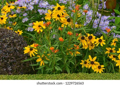 Close up of a flower border with colouful flowering Rudbeckia, Asclepias and Asters