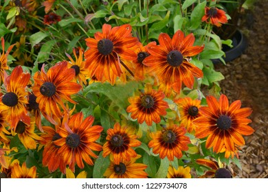 Close up of a flower border with colouful flowering Rudbeckia Blushing SmileyZ