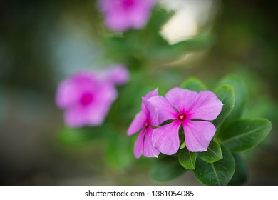 Close up flower: Catharanthus roseus (Madagascar periwinkle, rose periwinkle, or rosy periwinkle) - a species of flowering plant in the dogbane family Apocynaceae