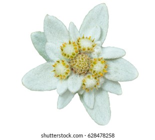 A close up of the flower edelweiss (Leontopodium pallibinianum). Isolated on white.
