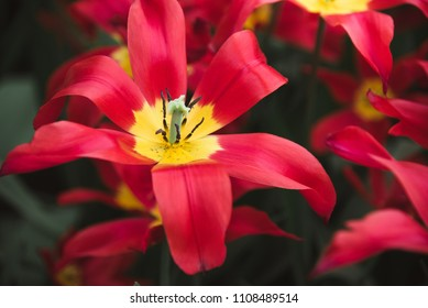 Close up of Flower with Long Red Petals, Amsterdam, Holland, The Netherlands