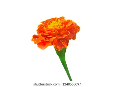 A close up of the flower marigold (Tagetes). Isolated on white.