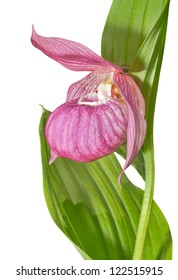 A close up of the flower orchid lady's slipper. Isolated on white.