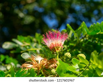 Close up flower of Rain tree or East indian walnut with blur background. (Scientific name Samanea saman).