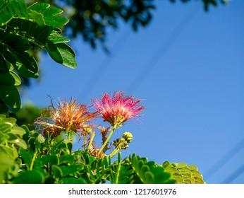 Close up flower of Rain tree or East indian walnut with blue sky (Scientific name Samanea saman).