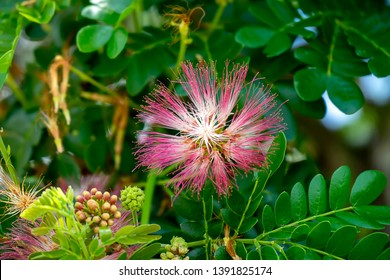 Close up flower of Rain tree or East indian walnut background. (Scientific name Samanea saman).