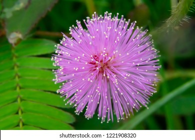 Close up flower of sensitive plant, sleepy plant or the touch-me-not tree (Mimosa pudica) in green leaf.