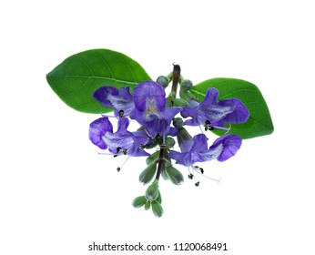 Close up flower of Vitex trifolia plant on white background.
