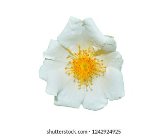 A close up of the flower of white brier (Rosa maximowicziana). Isolated on white.