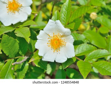A close up of the flower of white brier (Rosa maximowicziana).