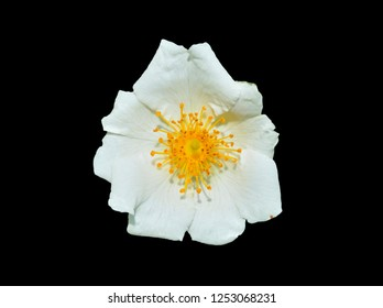 A close up of the flower of white brier (Rosa maximowicziana). Isolated on black.