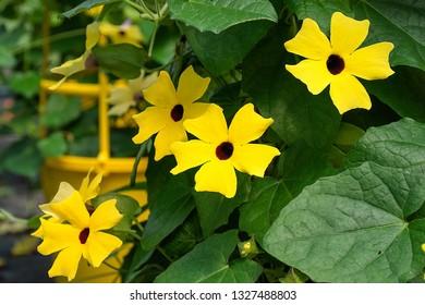 close up of flowering black eyed susan vine