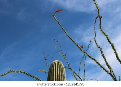 Close up of flowering Ocotillo branches and the top of a Saguaro Cactus  against a bright blue sky in Arizona, USA