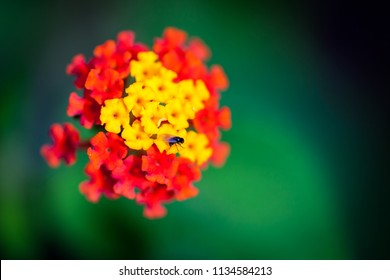 Close up of a flowering plant in the Lantana genus found in tropical Costa Rica, Blooming with small yellow and red florets over a green background and a small black fly.