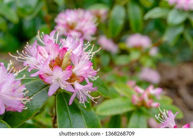 Close up of a flowering shrub with small pink Rhododendrons (Lepidote) in Spring.  View of a purple Rhododendron (evergreen azaleas) in April.