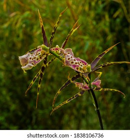 Close up of  flowering Spider orchid (Brassia)