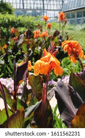 Close up of a flowering stalk of an Orange Wyoming Canna Lily using a bokeh effect