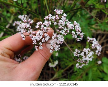 Close up of the flowers of blooming Valerian (Valeriana officinalis, Caprifoliaceae). Poland, Europe