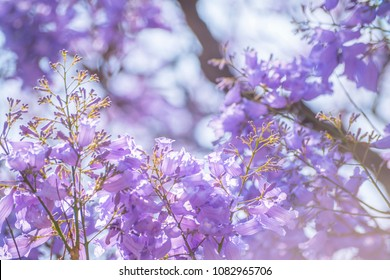 close up of the flowers of a majestic jacaranda tree with a light blue color
