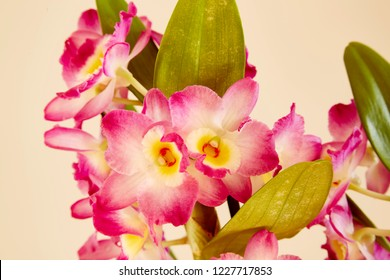 A close up of flowers of a pink Dendrobium Nobile with a plain background,