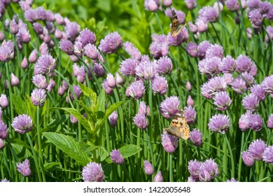 Close up of the flowers of some Chives and orange butterfly in the garden. Allium schoenoprasum