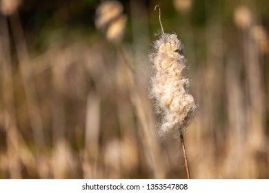 Close up of fluffy seed head of single bullrush with out of focus background