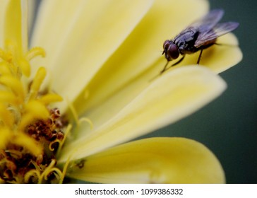 close up of a fly, insect on a beautiful yellow, red color zinnia flowers seen in a home garden in sri lanka