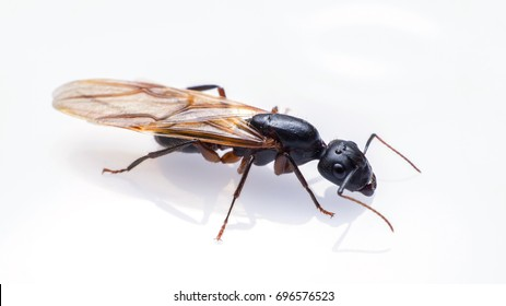 close up flying ant isolated on white background. Winged Carpenter ant