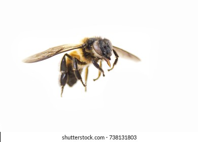 Close up of flying bee on white background