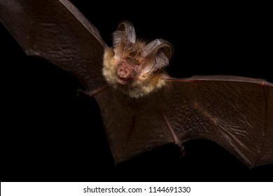 Close up flying small Brown long-eared bat Plecotus auritus hunting night moths and insect pest catching in darkness via ultrasound echolocation. Dark background detail wildlife animal portrait scene