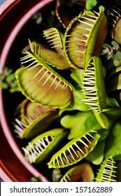 Close up Flytrap - Dionaea muscipula