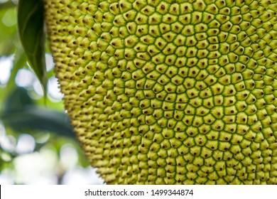 Close focus detail of the skin of a ripening jackfruit (Artocarpus heterophyllus).