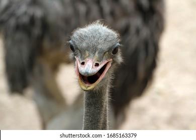 close up focus head ostrich in summer nature garden at thailand