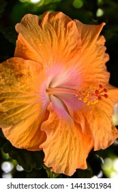 Close up focus of vibrant orange hibiscus