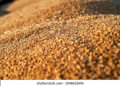 Close up focus view of wheat seeds in a tractor-trailer during harvesting.