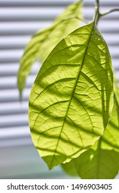 Close up of foliage of a young avocado tree on a window with shutters, selective focus