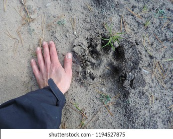 Close up of the footprint of a mature Eurasian wolf (common wolf or Middle Russian forest wolf) compared to female hand. Poland, Europe