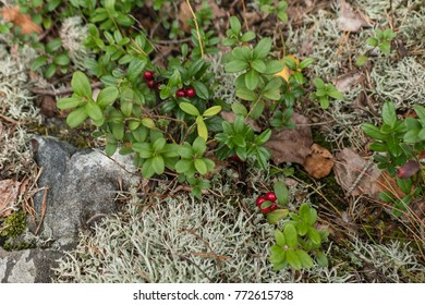 Close up of forest red berry in moss