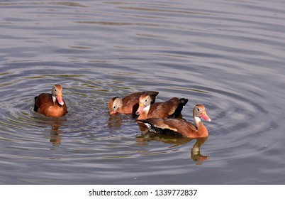 Close up of four black bellied whistling ducks (Dendrocygna autumnalis), swimming in the water.