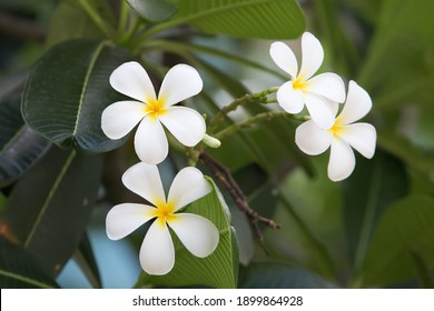 Close up of frangipani flowers with green background. Beautiful frangipani flowers with green leafs background.