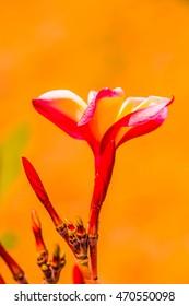 Close up of Frangipani flowers, Thailand