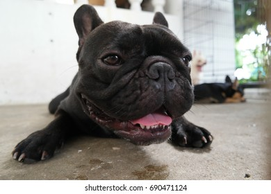 Close up French Bulldog face, black dog lying on floor, cute dog.